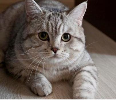 Jenis-jenis Kucing yang Banyak Dipelihara di Rumah