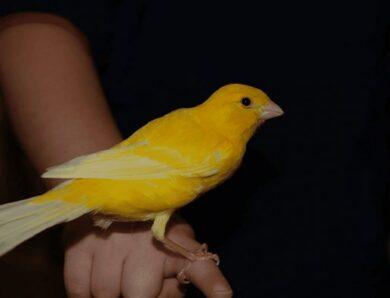 Harga Burung Kenari Beserta Harga Terbaru di Indonesia